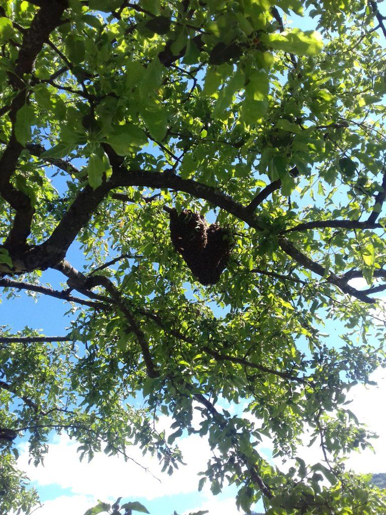 Bienenschwarm am Baum
